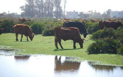 Vacas pastando en el Palmar