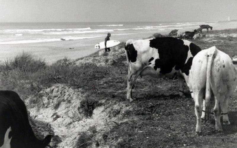 el palmar cows